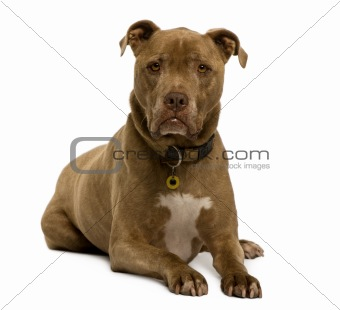 Crossbreed dog, 12 years old, sitting in front of white background, studio shot