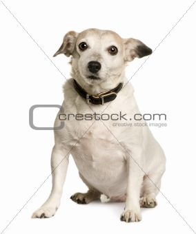 Old Crossbreed with a Jack Russell terrier, 8 years old, sitting in front of white background