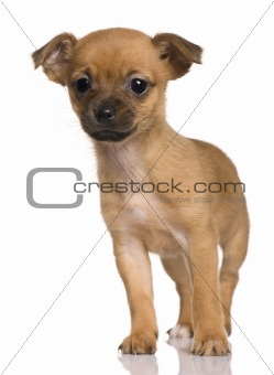 Puppy Crossbreed with a Shih Tzu and a Yorkshire Terrier, 2 months old, in front of white background