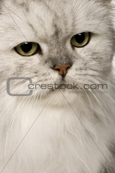 Old Silver Persian cat, 12 years old