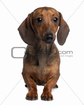 Dachshund, 20 months old, sitting in front of white background