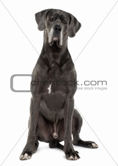 Great Dane, 3 years old, sitting in front of white background