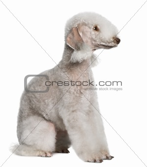 Bedlington terrier, 2 years old, sitting in front of white background