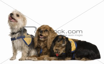 Cavalier King Charles Spaniels and a mixed-breed, 6 years old, 7 years old and 3 years old, in front of white background