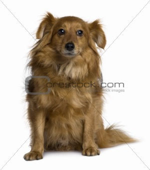 Crossbreed dog, 6 years old, sitting in front of white background