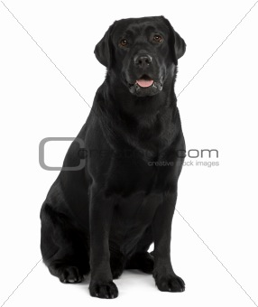 Black Labrador, 22 months old, sitting in front of white background