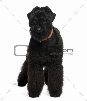 Black Russian Terrier, 7 months old, standing in front of white background