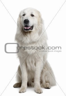 Great Pyrenees or Pyrenean Mountain Dog, 3 years old, sitting in front of white background