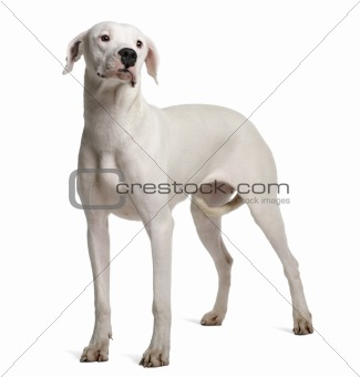 Argentine Dogo, 11 months old, standing in front of white background