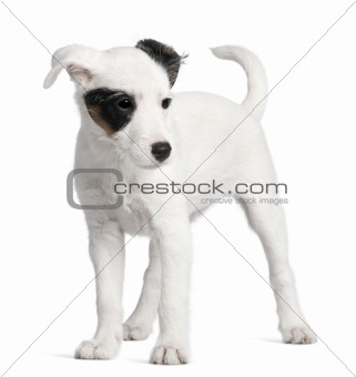 Parson Russell terrier, 3 months old, standing in front of white background