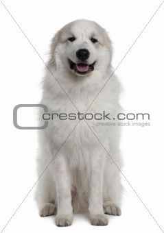 Great Pyrenees or Pyrenean mountain dog, 1 year old, sitting in front of white background