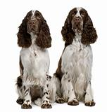 Two English Springer spaniels, 1 and 2 years old, sitting in front of white background