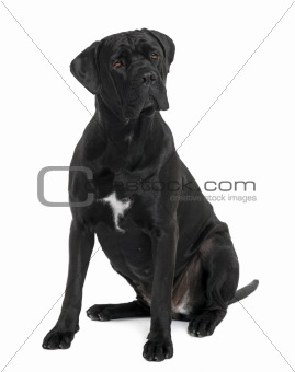 Cane Corso dog, 1 year old, sitting in front of white background