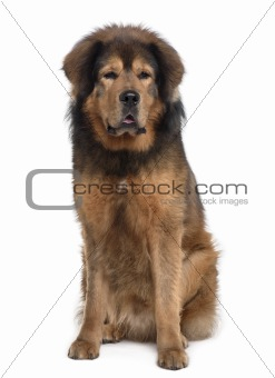 Tibetan mastiff, 3 years old, sitting in front of white background