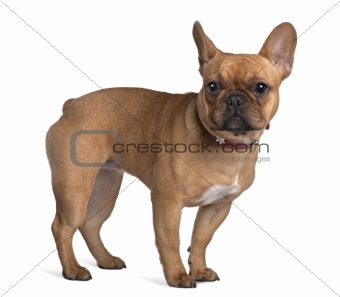 French Bulldog, 7 Months Old, standing in front of white background
