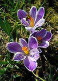 Spring crocuses and bees.