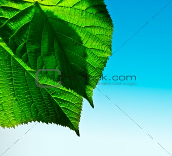 Green leaf on sky background