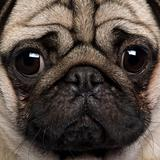 Close-up of Pug, 2 Years old