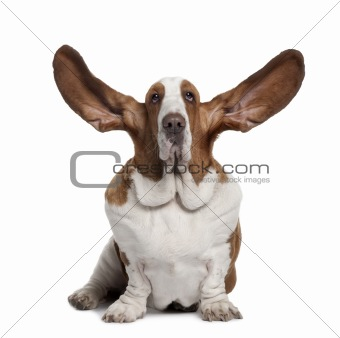 Basset Hound with ears up, 2 years old, sitting in front of whit