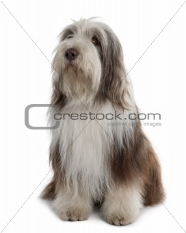 Bearded Collie, 3 Years Old, sitting in front of white background