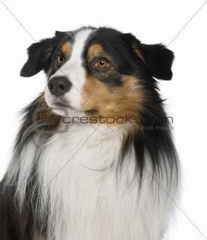 Australian Shepherd dog, 4 Years Old, in front of white background