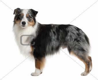 Australian Shepherd dog, 3 years old, standing in front of white background