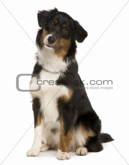 Australian Shepherd puppy, 7 months old, sitting in front of white background