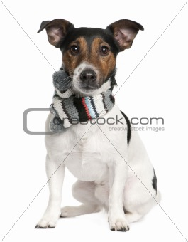 Portrait of Jack Russell terrier wearing scarf sitting in front