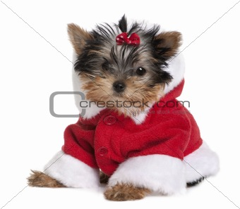 Portrait of puppy Yorkshire Terrier, 10 months old, dressed in Santa coat in front of white background