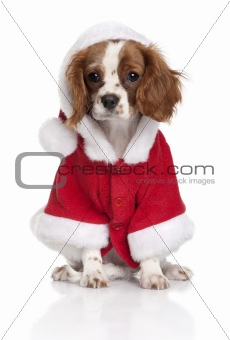 Portrait of puppy Cavalier King Charles Spaniel, 4 months old, d