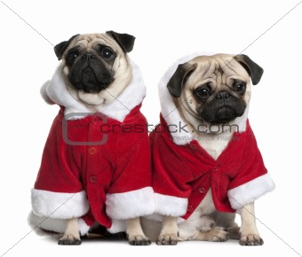 Portrait of two Pugs, 1 and 2 years old, dressed in Santa coat i