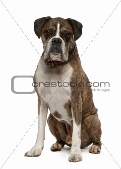 Portrait of Old Boxer, 11 years old, sitting in front of white background, studio shot