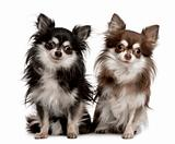 Portrait of two Chihuahuas, 7 years old, sitting in front of whi