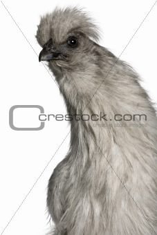Grey Silkie hen, 1 year old, standing in front of white backgrou