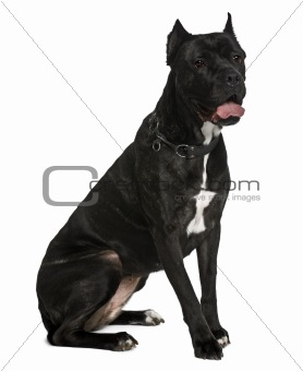 Cane corso dog, 6 years old, sitting in front of white background
