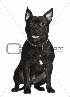 Crossbreed dog, 1 year old, sitting in front of white background