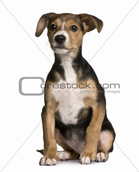 Crossbreed with a Jack Russell and a pincher puppy, 3 months old, sitting in front of white background