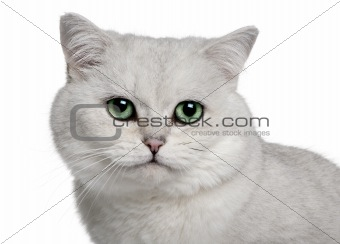 British Shorthair (5 years old)