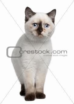 British Shorthair kitten (4 months old)