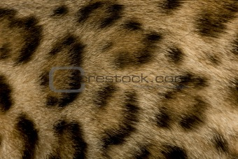 close up on Fur of a Bengal