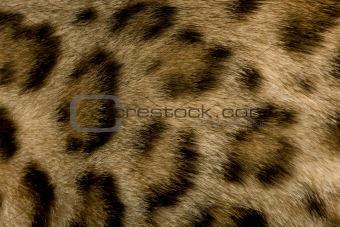 close up on Fur of a Bengal