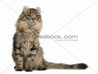 American Curl (8 months old)