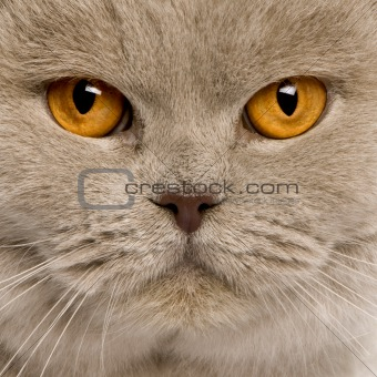 close up of a british shorthair (4 years old)