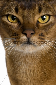 close up of a Abyssinian (9 months old)