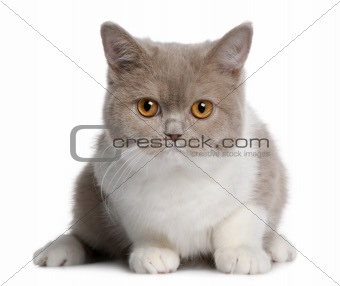 british shorthair kitten (3 months old)