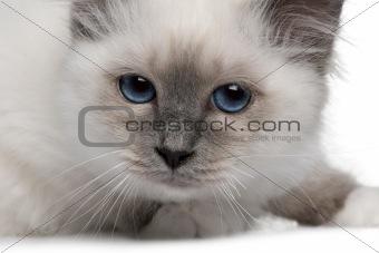 close up of a Birman kitten