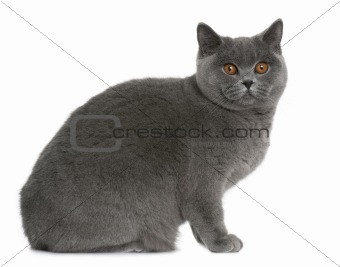 british shorthair (9 months old)