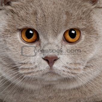 close up of a british shorthair (9 months old)