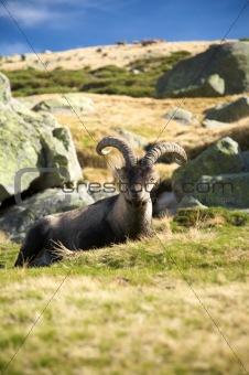 sitting goat