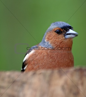 Chaffinch, British Bird in natural habitat